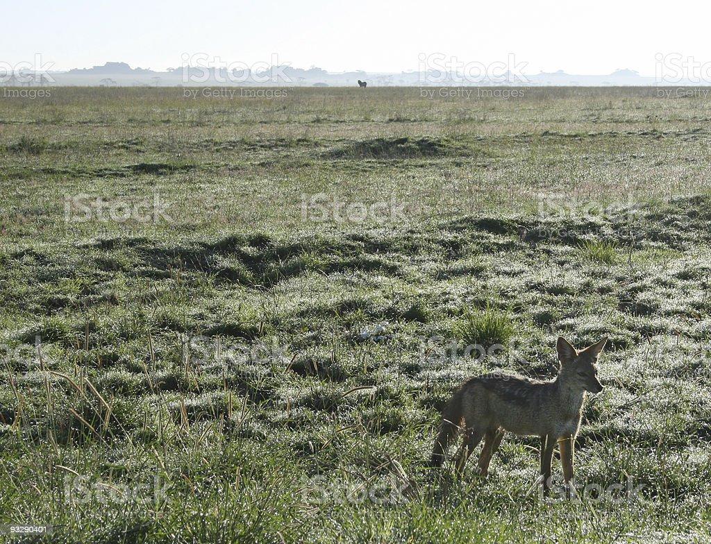 Jackal in Serengeti national park, Tanzania stock photo