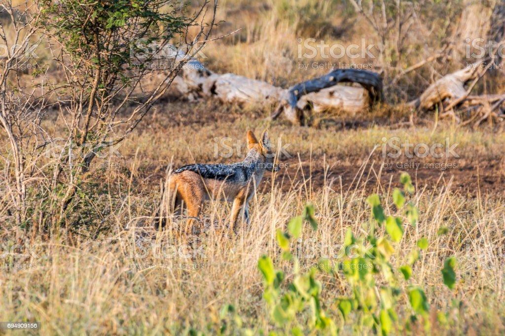 Jackal in the bushes of Kruger Park, South Afrika stock photo