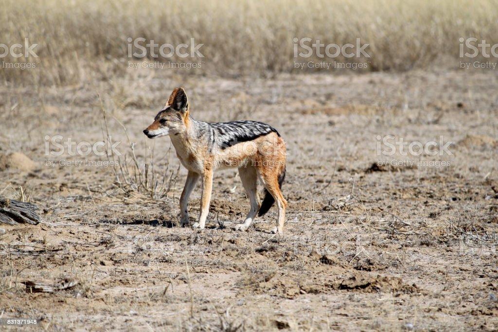 Jackal in the Kalahari desert stock photo