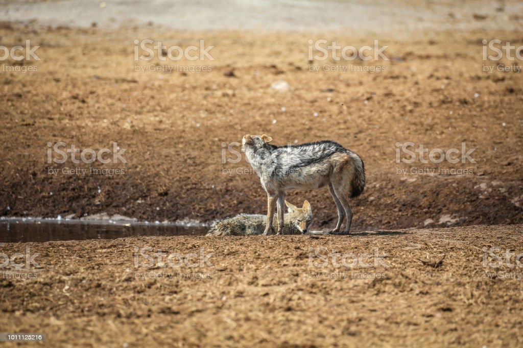 Jackal Stock Photo More Pictures Of African Culture Istock
