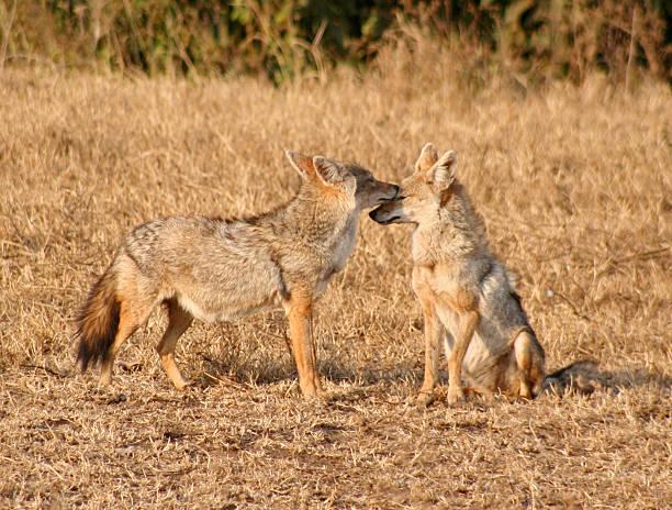 jackals in ngorongorokrater - goldschakal stock-fotos und bilder