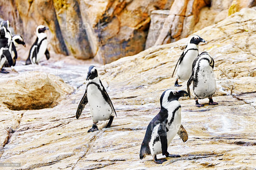 Jackass Penguin. stock photo