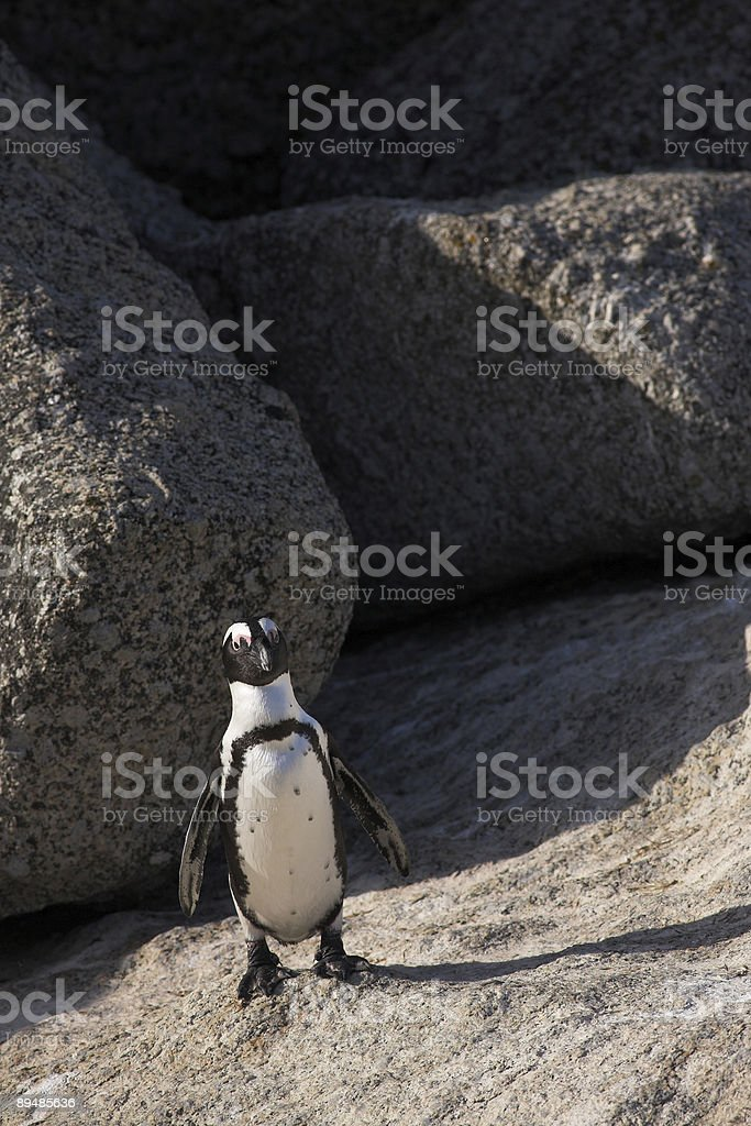 Jackass Penguin standing on a rock royalty-free stock photo