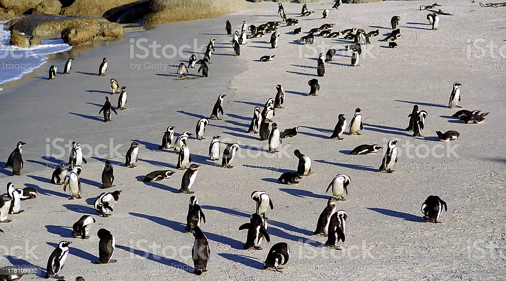 Jackass penguins, The Boulders, South African Republic royalty-free stock photo