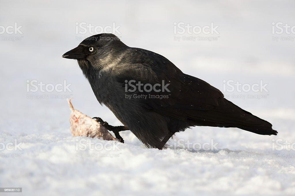 Jackdaw, Daw (Corvus monedula) royalty-free stock photo