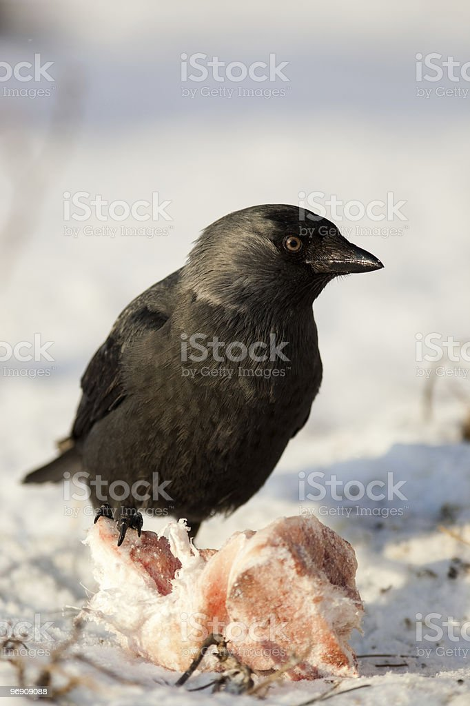 Jackdaw, Daw (Corvus monedula) royalty-free stock photo