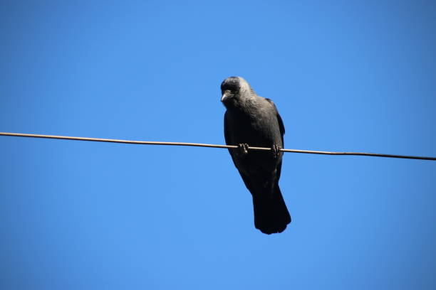 Jackdaw looking down from an electricity cable of a tram in Voorburg the Netherlands Jackdaw looking down from an electricity cable of a tram in Voorburg the Netherlands voorburg stock pictures, royalty-free photos & images