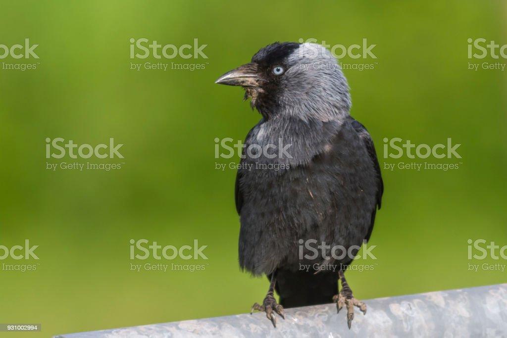 Jackdaw (corvus monedula) stock photo