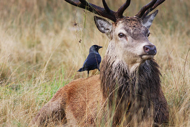 jackdaw in focus on back of red deer stag - whiteway deer stock photos and pictures