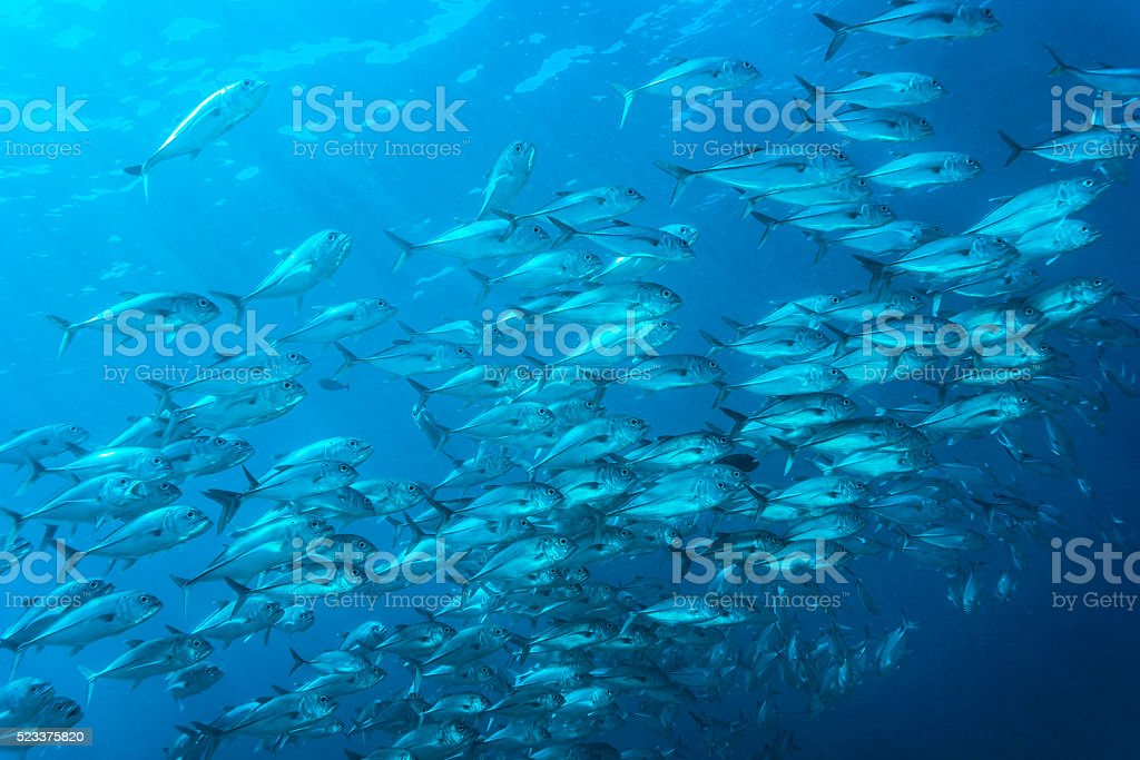 Jackfish - Palau, Micronesia stock photo