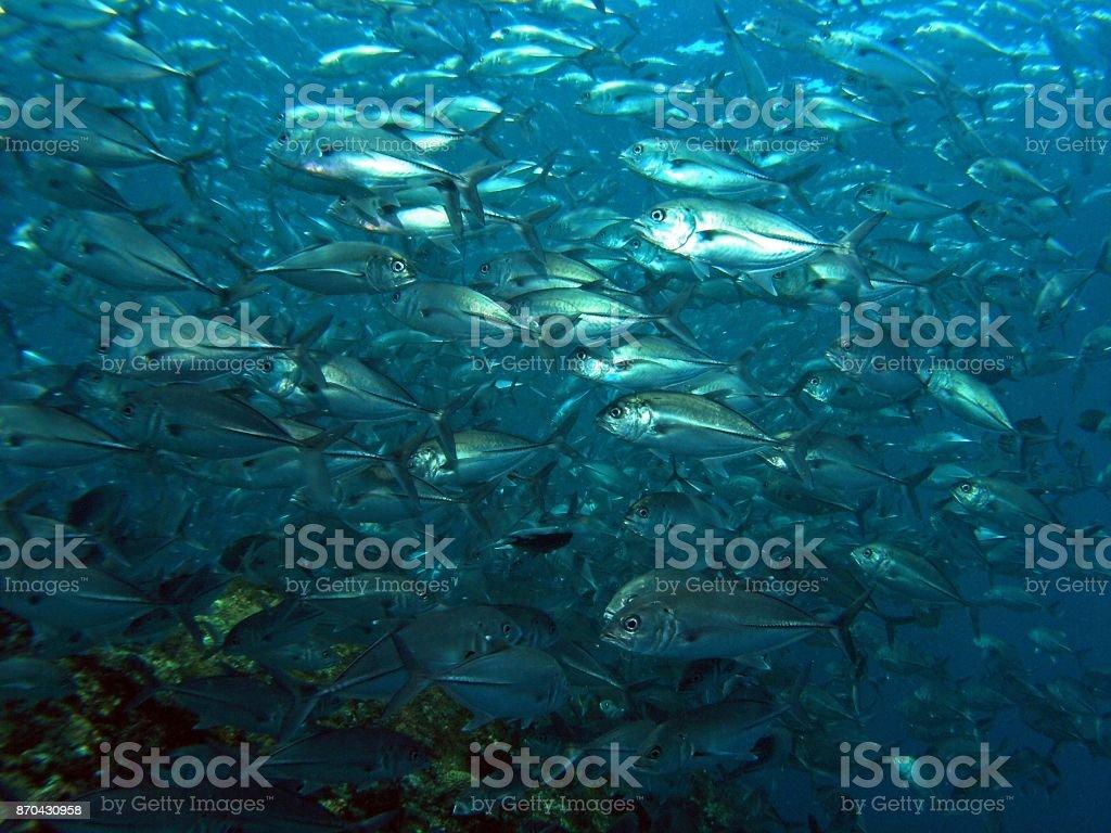 Jackfish schooling stock photo