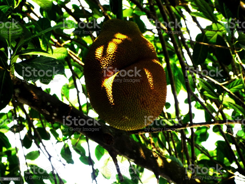A jackfruit attached to a branch of a tree stock photo