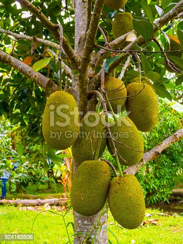 Jackfruit tree in Mekong, Vietnam