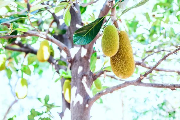 Jackfruit on a tree stock photo