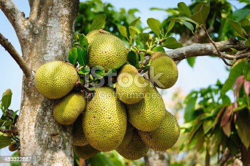 A tropical fruit that grows on a tree of the Mulberry family. It is eaten raw, dried, or in cooked form in Southeast Asia and India. Sometimes called Langka. This cluster is on a tree growing in a village in the Mekong delta of Vietnam.