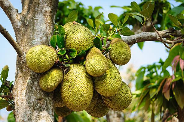 jackfrucht auf tree - jackfrucht stock-fotos und bilder