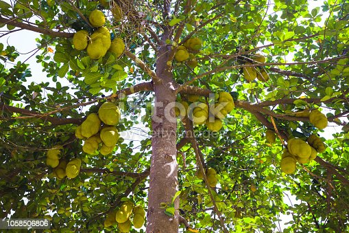 Large jackfruit on the trees in the jungles of India