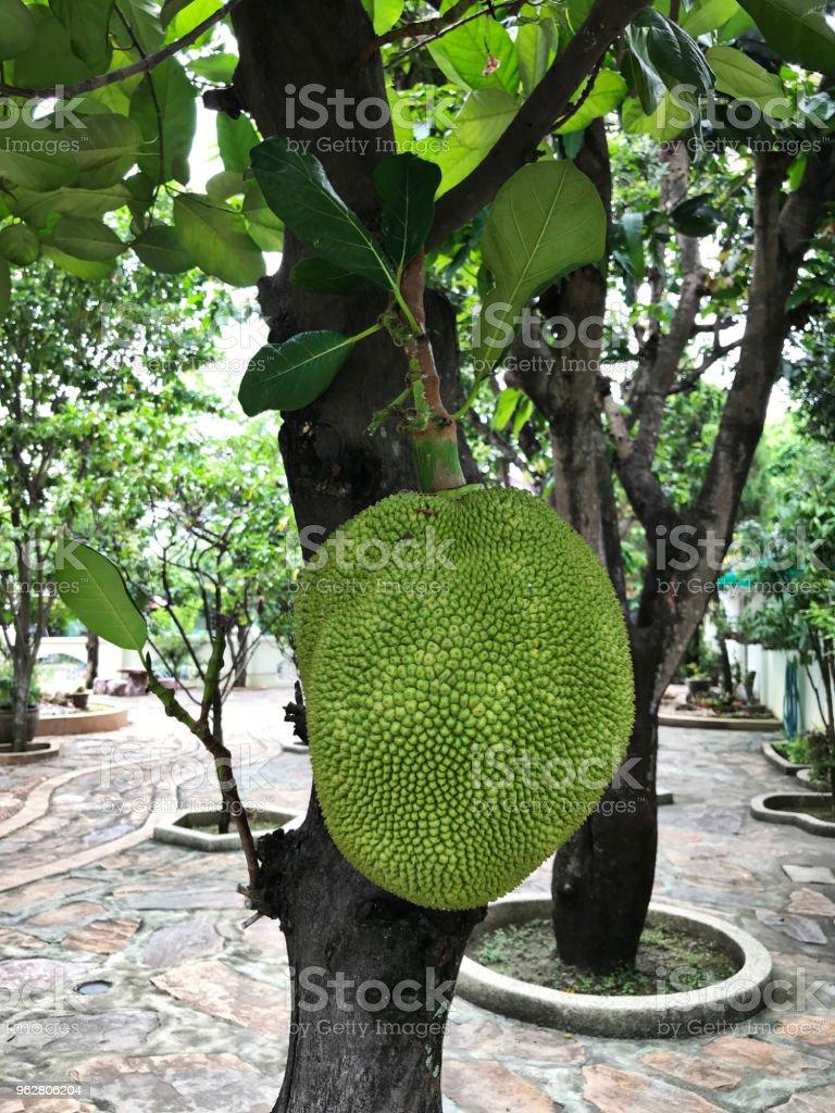 Jackfruit or Artocarpus heterophyllus or Jakfruit or Jack tree produce the fruit. - Foto stock royalty-free di Acerbo