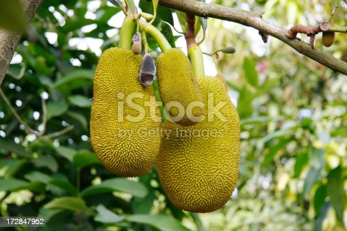 Jackfruit at Mekong Delta in south Vietnam.
