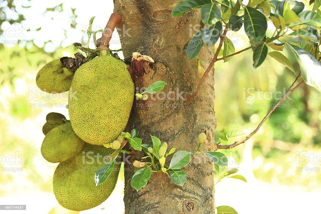 jackfruit royalty-free stock photo