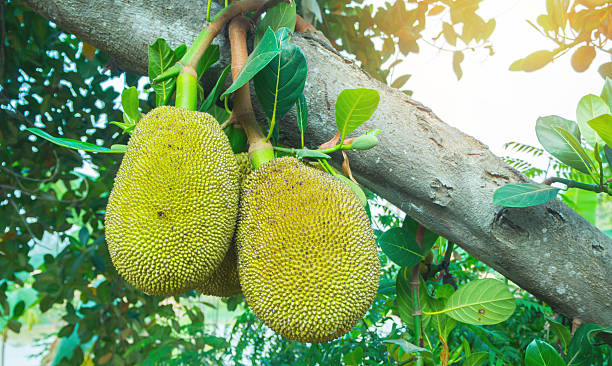 jackfrucht - jackfrucht stock-fotos und bilder