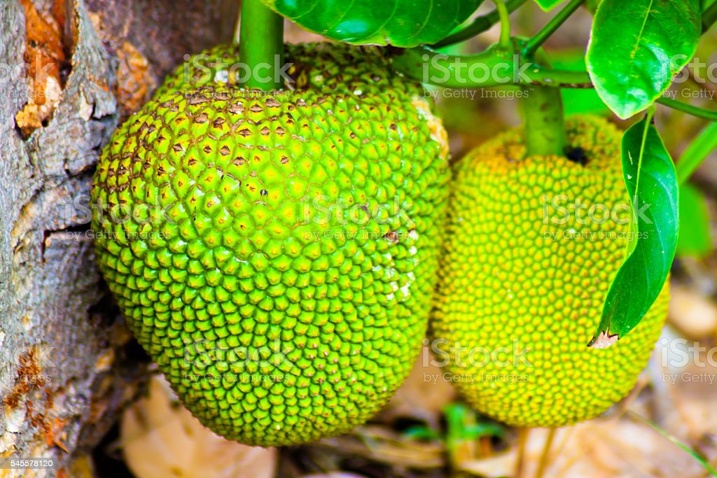 Jackfruit Tree and young Jackfruits - foto de stock