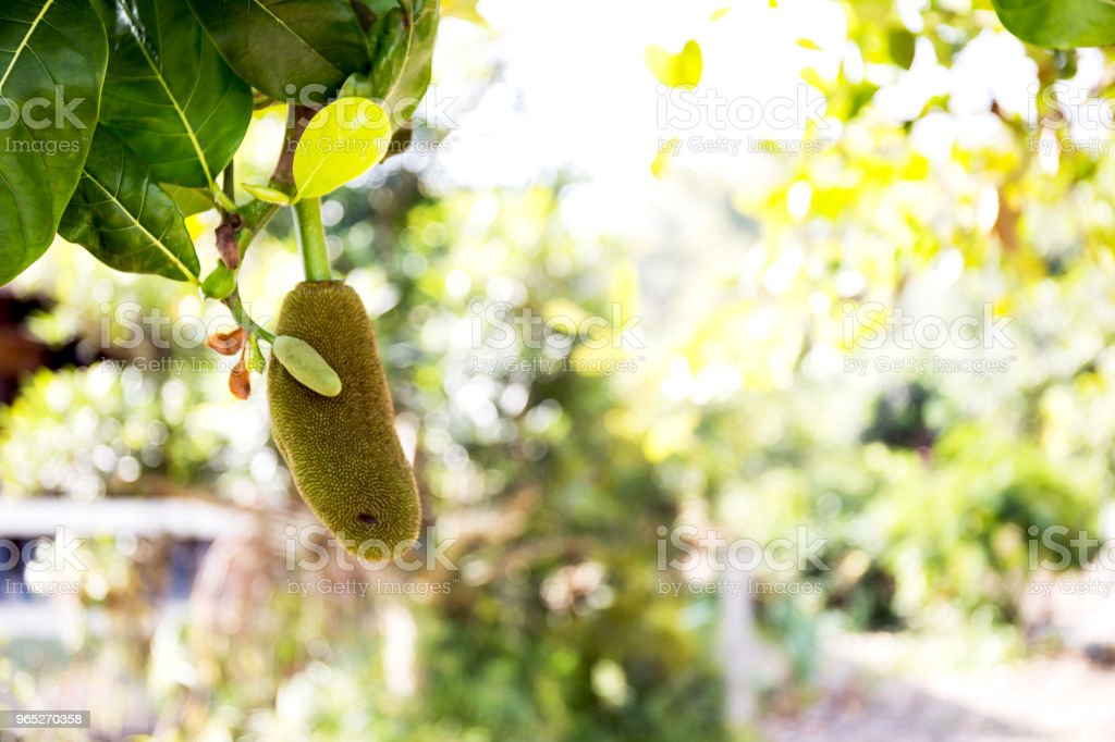 Jackfruit Tree and young Jackfruits royalty-free stock photo