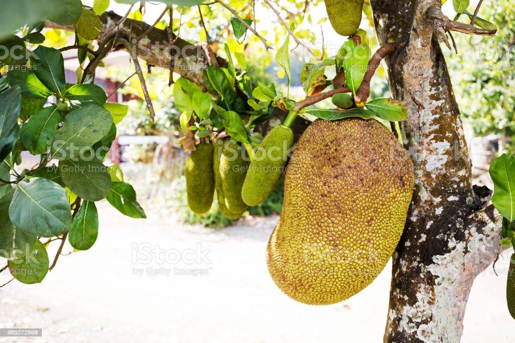 Jackfruit Tree and young Jackfruits zbiór zdjęć royalty-free