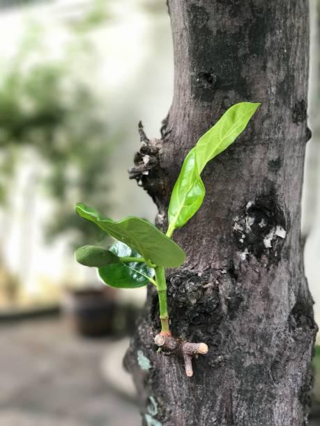 jackfruit baum hat neue zweig mit jungen jackfrucht. - wiedergeborene babys stock-fotos und bilder
