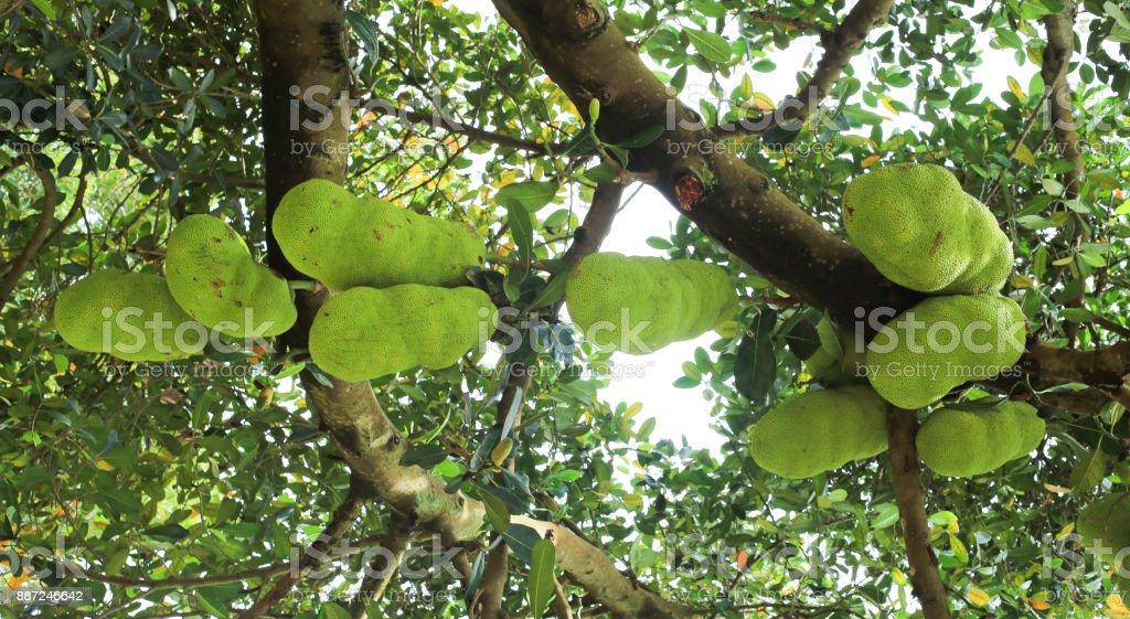 Jackfruit tree in Kampala, the capital of Uganda. stock photo