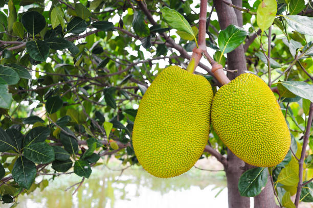 jackfrucht, tropische früchte am baum - jackfrucht stock-fotos und bilder