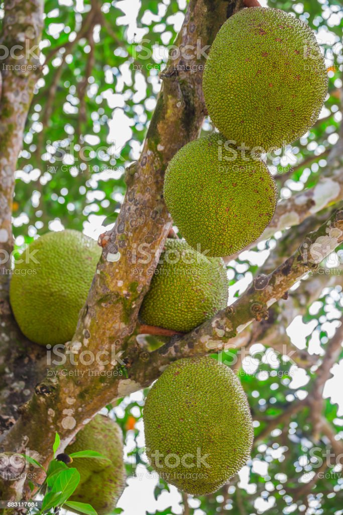 jackfruit. Unique in its size and very tasty unusual fruit of Thailand. stock photo