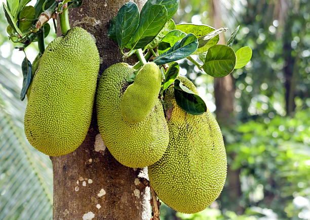 jackfruits - foto de acervo