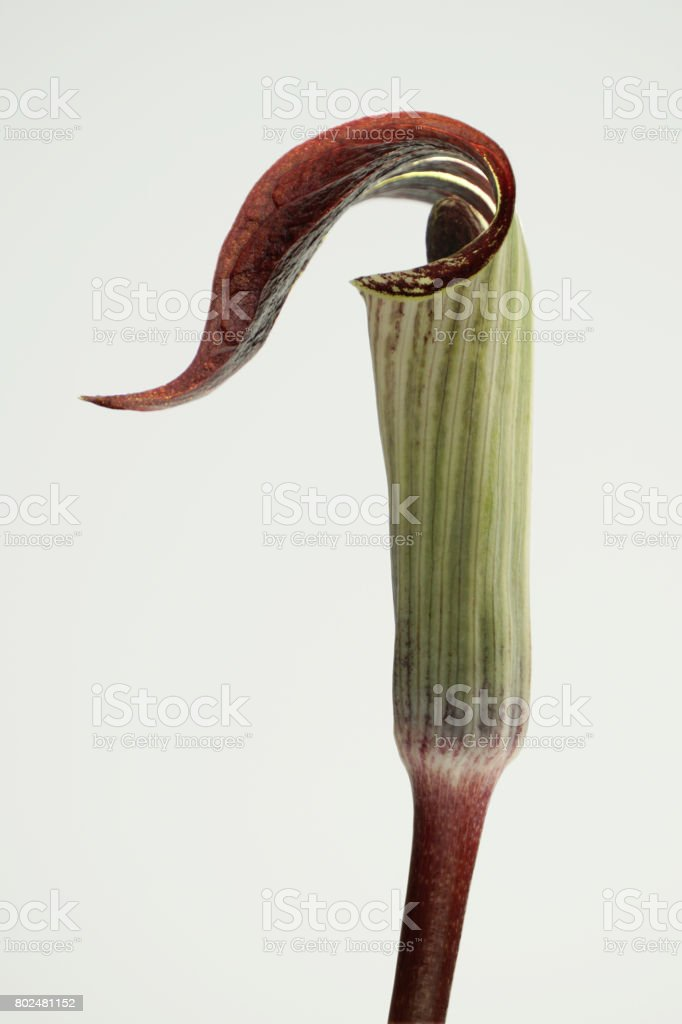 Jack-in-the-pulpit flower (Arisaema triphyllum) stock photo
