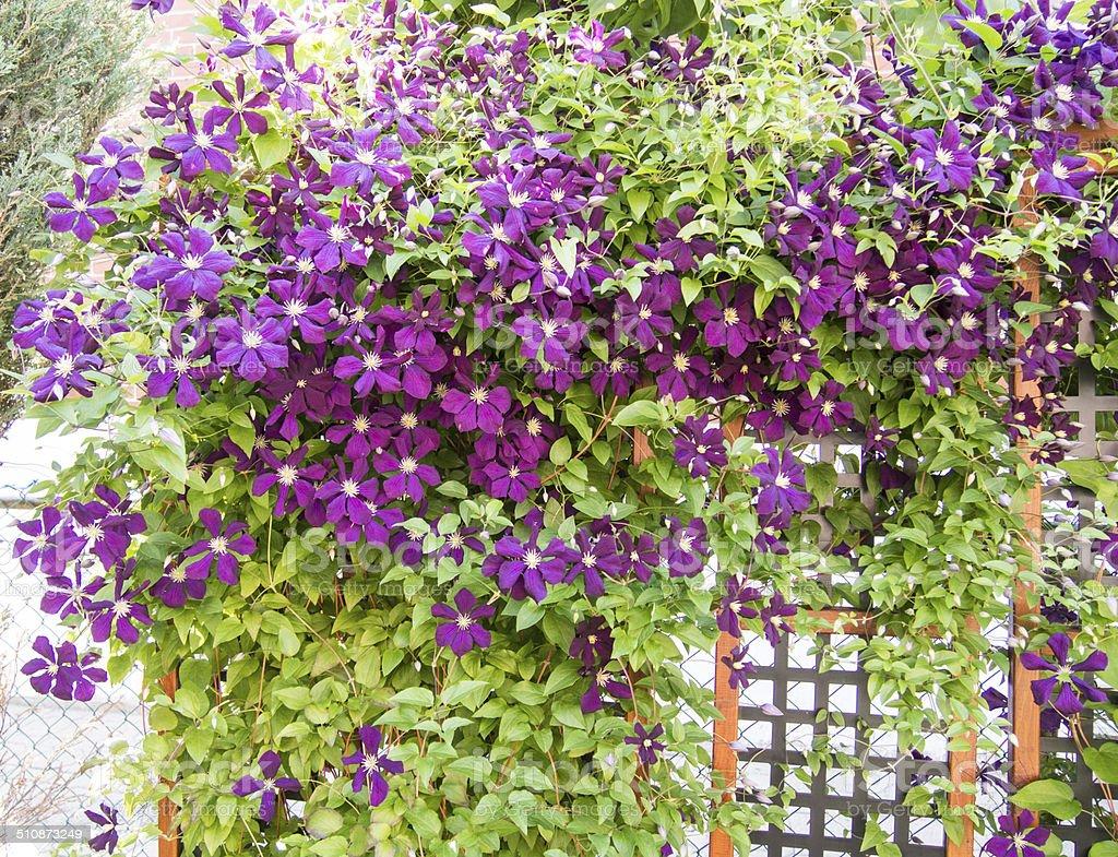 Jackmanii Clematis in bloom stock photo