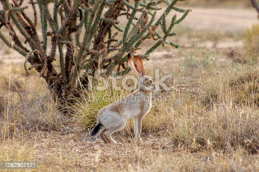 Jackrabbit stands at alert in a desert landscape surrounded by dry grass and a thin cactus in the Ojito Wilderness, New Mexico, USA