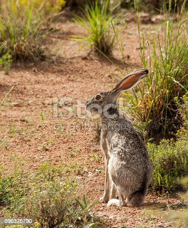 This jackrabbit near Deming, New Mexico belongs to a species common in the Western United States.