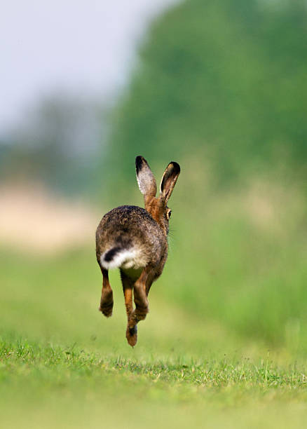 Jackrabbit running stock photo