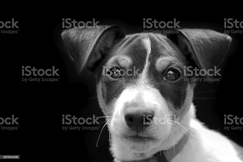 Jack-russell terrier puppy on black stock photo