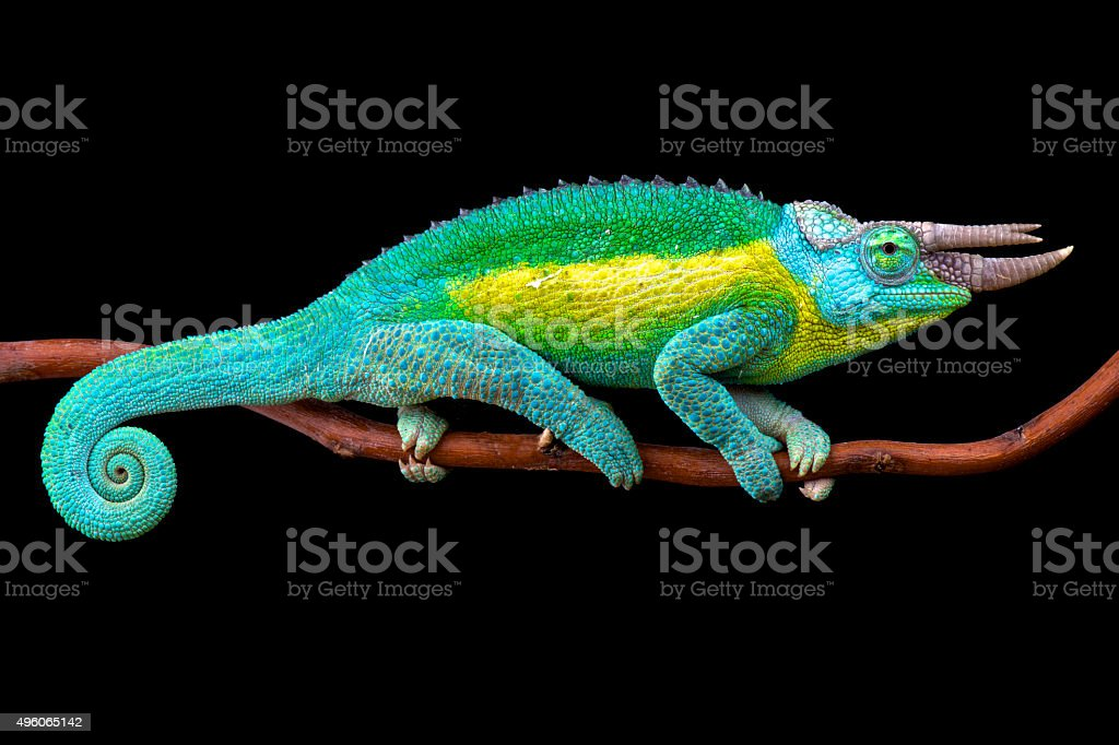 Jackson chameleon (Trioceros jacksonii) stock photo