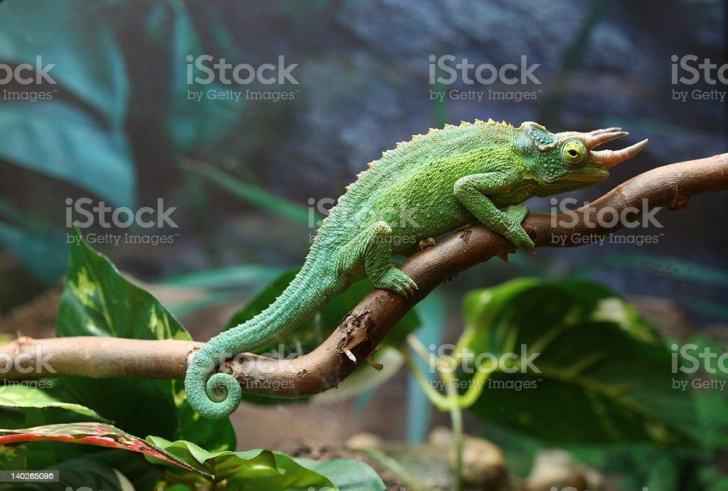 Jackson Chameleon Resting on Branch royalty-free stock photo