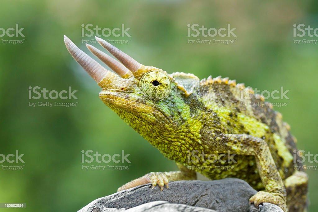 Jackson's Chameleon stock photo