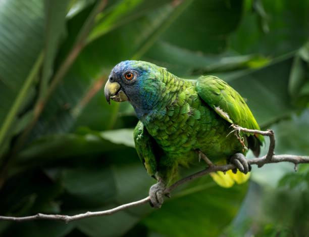 Jaco Parrot, Amazona arausiaca – Foto