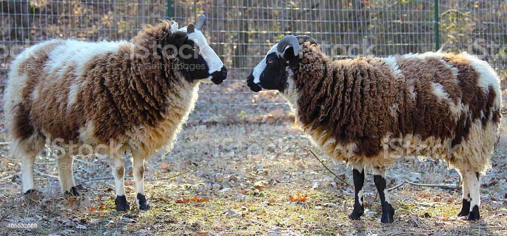 Jacob Ewes in Pasture stock photo