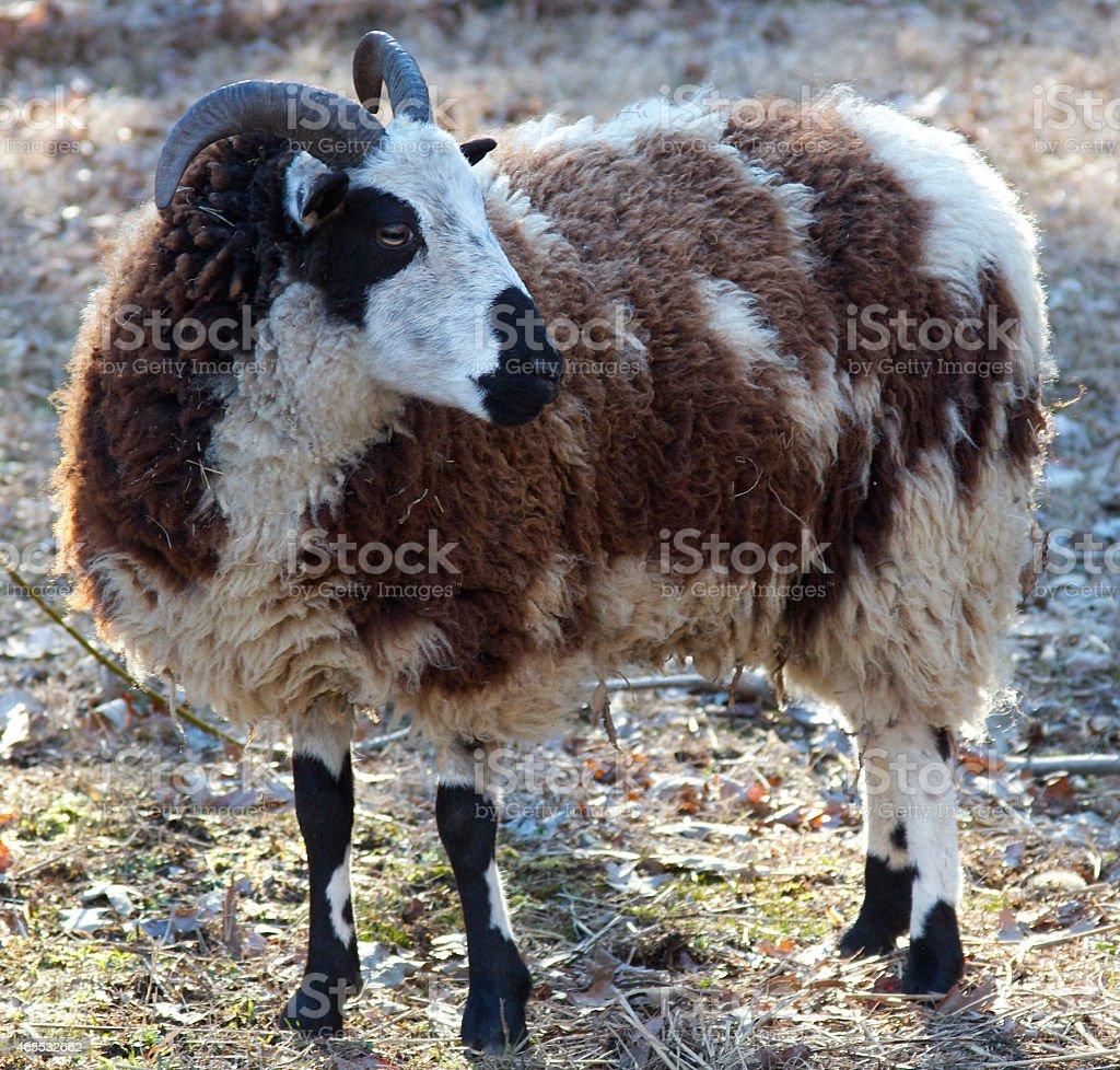 Jacob Sheep Ewe with Full Coat stock photo