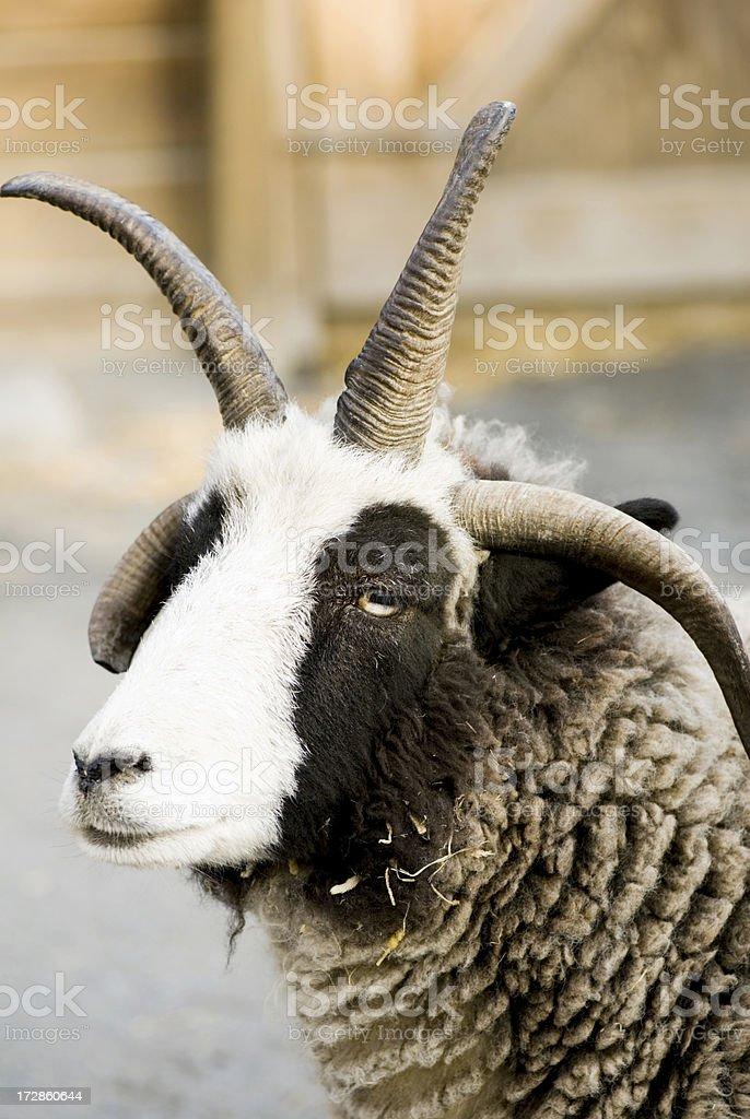 Jacob Sheep Looking At Camera stock photo