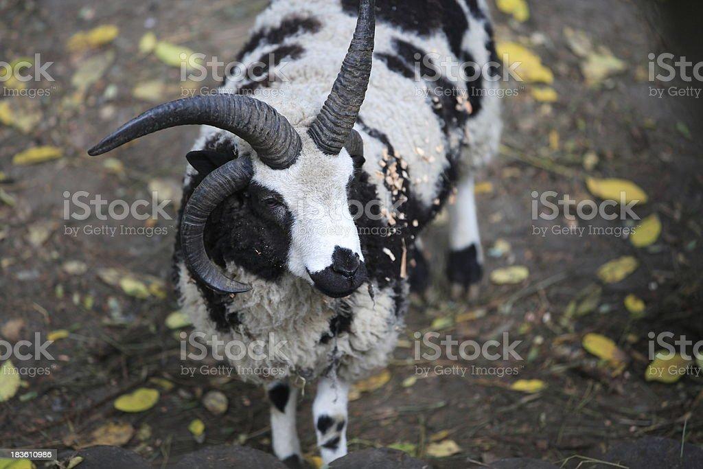 Jacob Sheep stock photo
