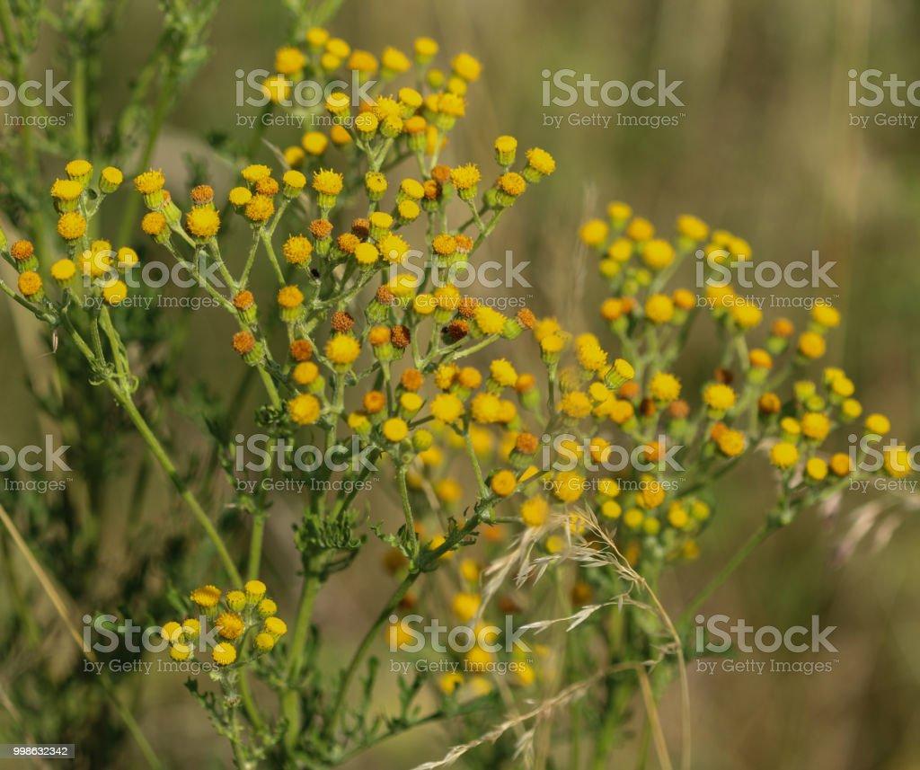Jacobaea Vulgaris Flower Blooming In Spring Common Names Include