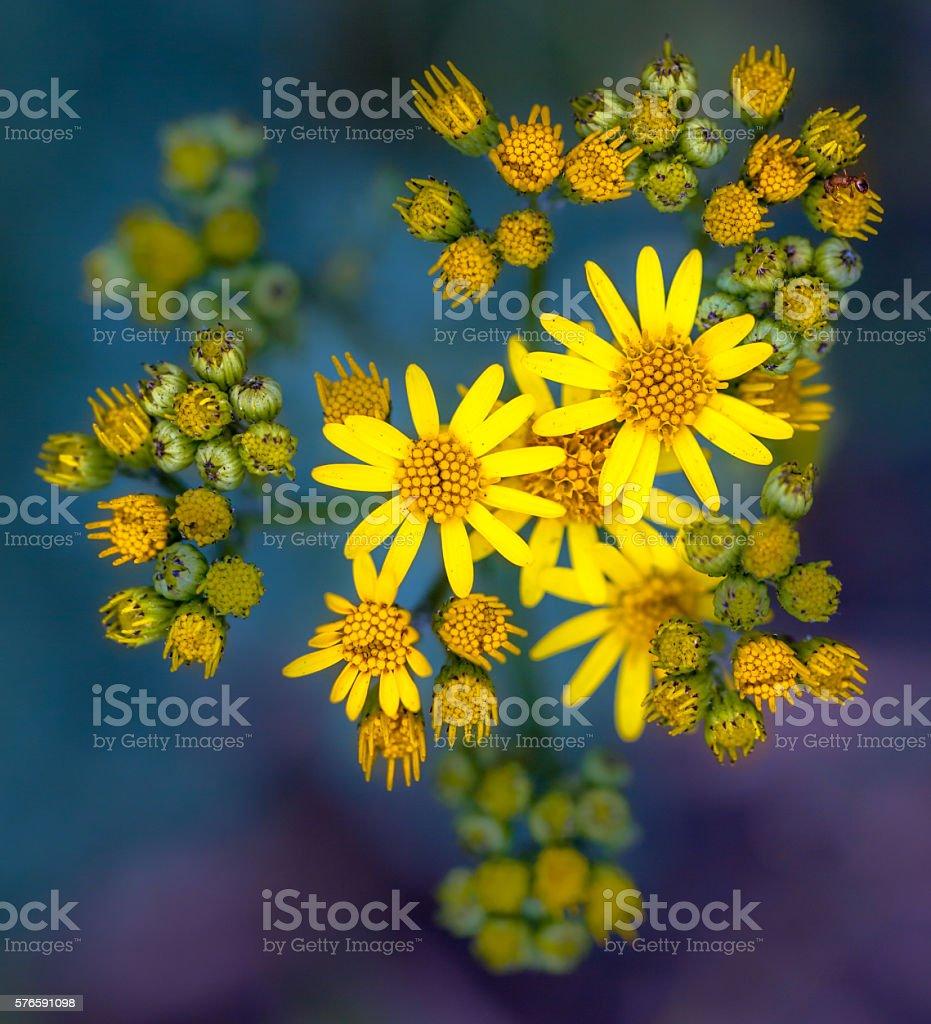 Jacobaea vulgaris or Ragwort stock photo
