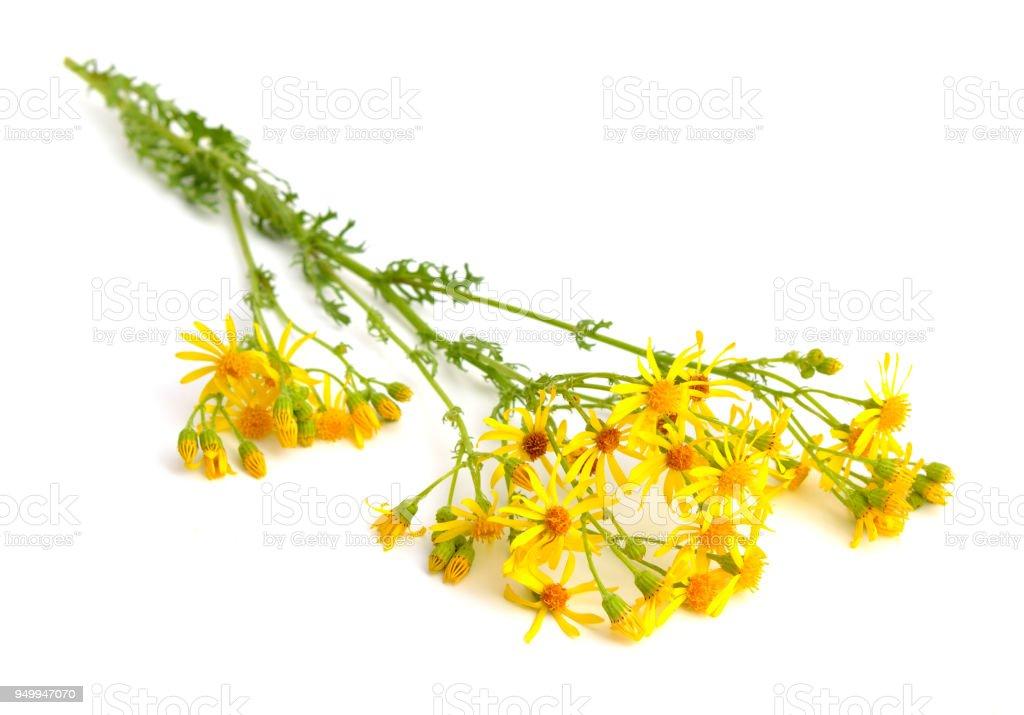 Jacobaea vulgaris stock photo